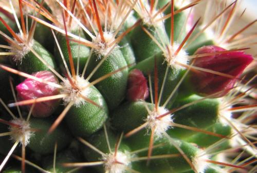 Kaktus III